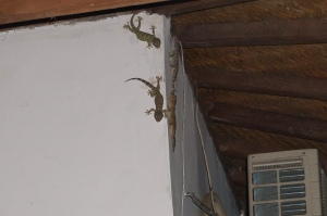 Several geckos hanging out by the front door