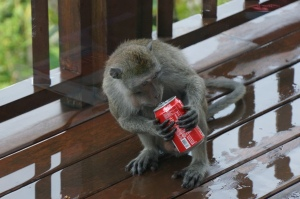 Young monkey drinking Coke